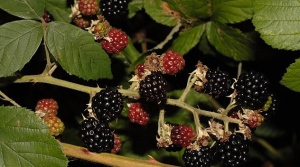 blackberries_MG_5550