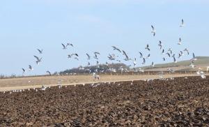 gulls at furrow