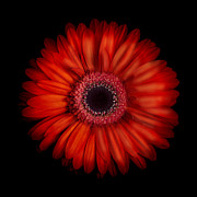 macro-photograph-of-an-red-and-orange-gerbera-daisy-against-a-black-background-zoe-ferrie